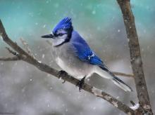 """Blue Jay"" por Michel Villeneuve"